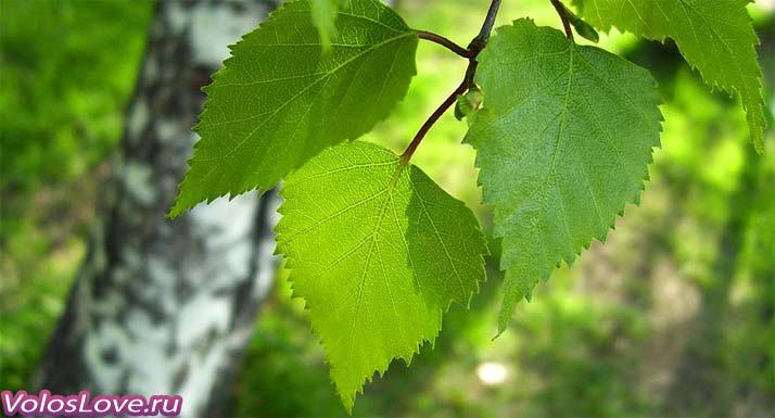 Листья березы для волос ополаскивать маски