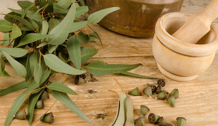 Листья эвкалипта для волос настойка отвар рецепты