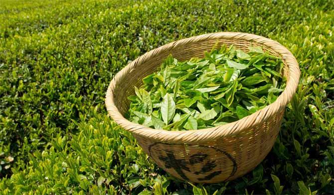 зеленый чай для волос ополаскивание окрашивание