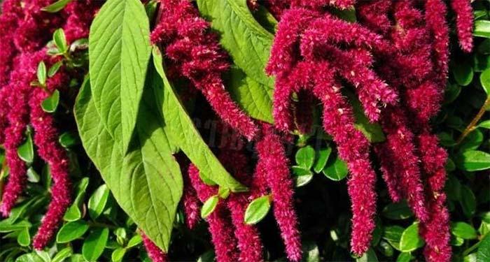 амарант растение лечебные свойства фото