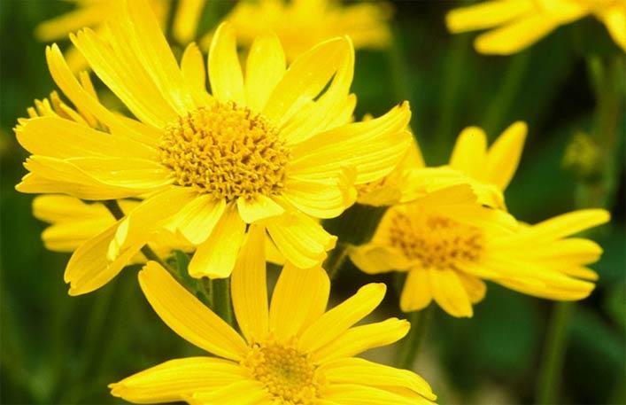 арника растение фото целебные свойства