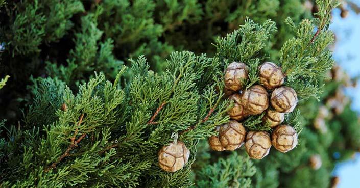 Масло кипарис дерево свойства отзывы
